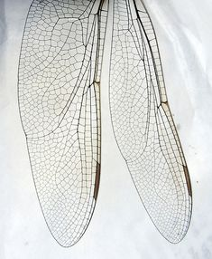 Fragile Beauty - dragonfly wing close up - delicate nature; organic textures; natural surface patterns