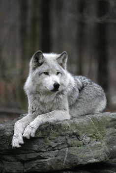 ... Search of the Oregon's Wild Wolf | Timber Wolf Information Network