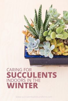 Learn how to properly water and care for your succulents indoors in the winter