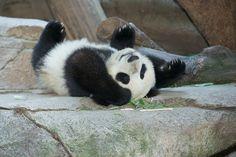 Mr. Wu on the rocks / baby panda at San Diego Zoo