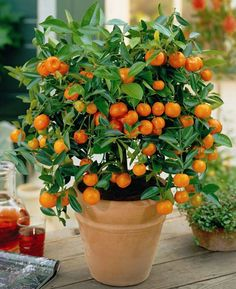 В магазинах продают лимонные, апельсиновые, мандариновые деревья с плодами и не верится, что у Вас дома оно сможет выжить. Да и цены на цитрусовые высоки. Так вырастите свое! Закаленное и любимоеЧто п…