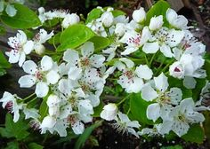 Asian Pear like (Shinseiki or Housi). A great grower in the Prescott area. Showy in spring with flowers, summer with fruit, autumn with great fall color. Spring Blooming Trees, Pear Trees, Moon Garden, New Beginnings, Autumn, Fall, Perennials, March, Asian