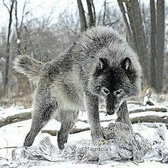 my world — vizualvibe: wolfs_loverss Supernatural Eyes. Wolf Photos, Wolf Pictures, Animal Pictures, Beautiful Wolves, Animals Beautiful, Cute Animals, Tier Wolf, Wolf Hybrid, Wolf World