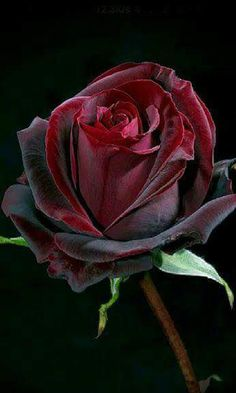 Midnight Garden here A Beautiful Rose For a You Ashlyn Nicole Howard Bellah ! You'll Always Be My Beautiful Blue Texas Rose! Amazing Flowers, Beautiful Roses, My Flower, Flower Power, Beautiful Flowers, Coming Up Roses, Red Roses, Black Magic Roses, Planting Flowers
