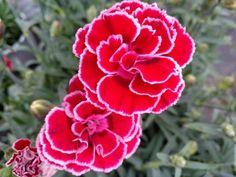 Mondrian, Dianthus Caryophyllus, Color Bordo, Flora, Rose, Plants, Flower Preservation, Shrubs, Plant Parts