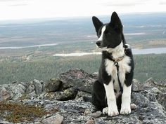 Karelian bear dog border collie mix - photo#26