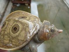 Burmese Peacock Softshell Turtle | The Wild Side