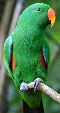 Male Eclectus roratus parrot
