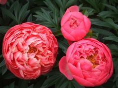 peonies, can live up to 100 years.  I should live so long!