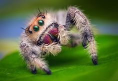 Jumping spiders use their silk to build tents and shelter for themselves especially for winter, a distinct characteristic which can also be used for spider identification.-They also use their silk to build cases for their eggs and they attach it to sheltered spaces. URL: http://wolfspider.org/