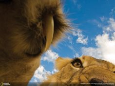 The world is amazing. Enjoy a compilation of the most spectacular wildlife photos! A lion who is showing his/her claws.
