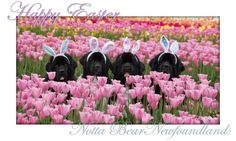 Happy Easter from Notta Bear Newfoundlands Our newfoundland dogs from wooden show tulip farm woodburn Oregon.  Newfies newfy dogs Easter flowers spring blessings