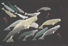 Pod of Beluga by Inuit artist Tim Pitsiulak, Cape Dorset, 2011 Inuit Kunst, Arte Inuit, Inuit Art, Inuit People, Vancouver, Whale Art, Native American Artists, Art Archive, Fish Art