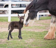 A Little donkey and a draft horse