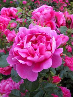 Royal Jubilee ~ English Shrub Rose