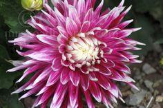 12 Dahlia Flower Blooming in the High Desert