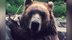 Bear uses a rock to smash glass window at the Minnesota Zoo. CNN's Jeanne Moos reports on the grizzly act.