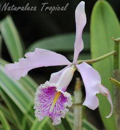 Otra foto de la flor de la orquídea Cattleya maxima