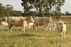 Gallery   Charolais Bulls   Charolais Cows, Heifers   Charolais Calves » Chenu Charolais, Cattle Stud Central Victoria
