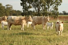 The Charolais cattle first originated from the central regions of France. They were originally used as a milk, meat, and draft breed. In 1934, Charolais cattle came to the US from mexico.