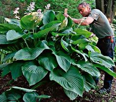 Looking for an impressive and unusual specimen? This tribute to the only female emperor in Chinese history certainly fits the bill. One of the largest Hostas available.