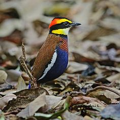 Featured Bird  Banded Pitta Pitta guajana by somchai@2008 Khlong thom, Krabi, Thailand.