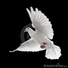 White Dove. Flying White Pigeon. Bird With Wings. White Blue Sym ...