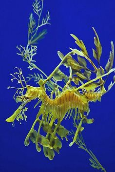 Leafy #seadragon #singapore #sea