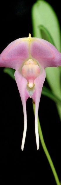 """Orchid. (""""Porroglossum josei #orchids."""")"""