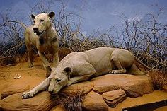 The Tsavo Man-Eaters were a pair of notorious man-eating lions responsible for the deaths of a number of construction workers on the Kenya-Uganda Railway from March through December 1898.