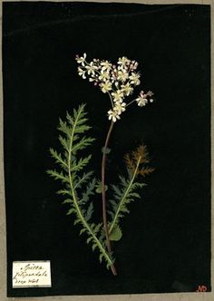 Spirea Filipendula, formerly in an album (Vol.IX, 32); Drop wort. 1780 Collage of coloured papers, with bodycolour and watercolour, and with leaf sample, on black ink background