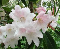 'King George' is a tall hybrid rhododendron that blooms in mid-spring, producing huge pale pink flower clusters that turn white as they mature. It generally grows 6 feet tall but may reach a height of 12 feet. With rhododendrons, the rule of thumb is that the larger the leaf, the less sun they can handle gracefully. 'King George' and other Loderi rhododendrons are large leaf plants that follow this rule. However, if given enough shade they are also drought tolerant. [