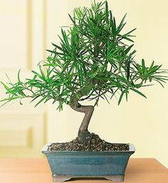 Shop for a selection of plants that make excellent plant gifts or will beautifully furnish your home or office! Our plant delivery is quick and easy and perfect for any occasion. Send plants and potted trees online like bonsai, orchids, & more. Bonsai Tree Care, Indoor Bonsai Tree, Bonsai Trees, Hosta Plants, Bonsai Plants, Podocarpus Bonsai, Sympathy Plants, Window Plants, Trees Online