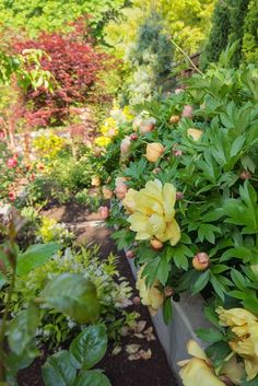 "Misaka Itoh Peonies, Plants ""Dream Team's"" Portland Garden Garden Design Calimesa, CA"