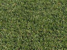 Stenotaphrum secundatum - Grama-de-santo-agostinho, Grama-inglesa - tem folhas lisas, sem pêlos e estreitas, de coloração verde-escura. É rizomatosa, isto é, o caule fica abaixo do solo e emite as folhas para cima. É indicada para jardins residenciais e de empresas, principalmente no litoral, formando gramados bem densos. Deve ser aparada sempre que alcançar 3 cm.
