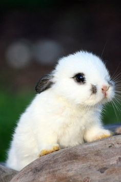 So cute! I wish I looked as cute as this one. Baby bunnies are ADORABLE! Cute Baby Bunnies, Cute Baby Animals, Animals And Pets, Funny Animals, Baby Owls, White Bunnies, Tiny Bunny, Baby Elephants, Baby Baby