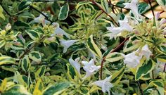 Twist of Lime™ Variegated Abelia is a compact, evergreen shrub with glossy variegated leaves and fragrant flowers attractive to wildlife.