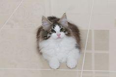 凄い子かも! - ノルウェージャンフォレストキャット、ヨーロッパの子猫
