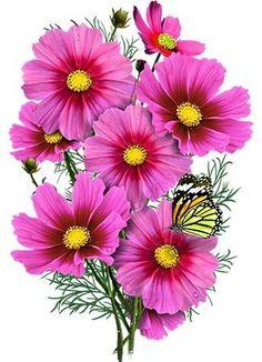 Radiance Cosmos Seeds (Cosmos bipinnatus) – Seed Needs LLC Elegant Flowers, Exotic Flowers, Vintage Flowers, Pink Flowers, Beautiful Flowers, Yellow Roses, Pink Roses, Art Floral, Growing Flowers