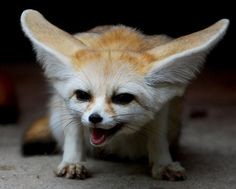 Image discovered by Clara Margueritte. Find images and videos about cute, fox and animals.funny on We Heart It - the app to get lost in what you love. Fenic Fox, Pet Fox, Cute Baby Animals, Animals And Pets, Funny Animals, Coyotes, Fennec Fox Pet, Wild Animals Photos, Vash