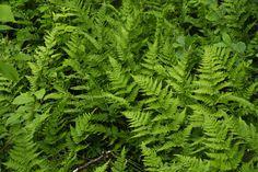 Metsäalvejuuri Parsley, Herbs, Herb, Medicinal Plants