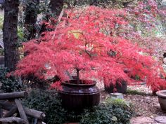Dwarf Japanese Maple
