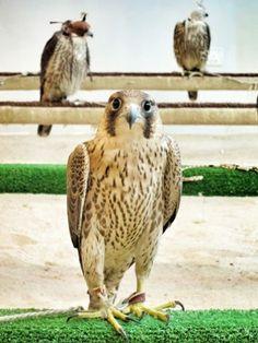 Photos: It's Falconry Season in Qatar : Condé Nast Traveler