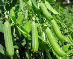 How to Grow Peas: Garden, English, and snap peas are grown for the shelled seeds or peas in their pods. Sugar or snow peas are grown for their flat, green pods. Peas are a cool-season crop that must mature before the weather gets warm. The ideal growing temperature for peas is 55°F to 70°F.