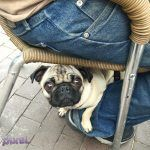 Project Pet at Pinots Palette Alameda #pixelpugprincess #pugs