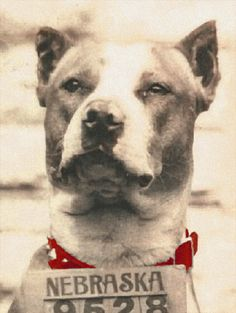 Vintage photo of a pit bull. A NEBRASKA pit bull. Wish I knew the story about this little Husker pup.