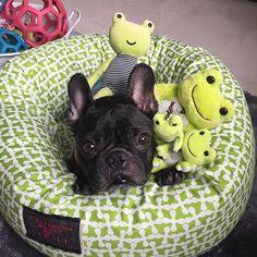 2016/10/01  カバーリングのオーダーお願いしました(^^) @leele_for_dog さん。  黄緑がとてもお気に入りです→ママがね😂 『マテ』コマンドが役に立ちます  #frenchbulldog#frenchie#frenchies#dogs#pets#buhi#pretty#adorable#cute#instadog#lovely#フレンチブルドッグ#ブヒ#フレブル#doglife#8  #ドーナツベッド がお気に入り❤︎