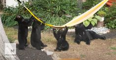 Family of bears playing tug of war over a hammock will make your weekend #Lifestyle #iNewsPhoto
