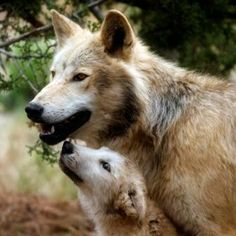 Baby Frost wolf with adult Forest