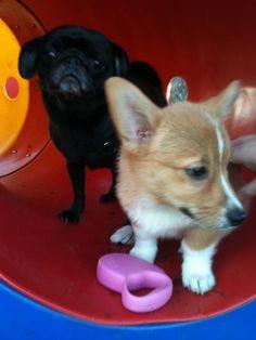 #corgi #pug #puppies Corgi Pug, Pug Puppies, Pugs, Corgis, Animals, Animales, Animaux, Corgi, Animal